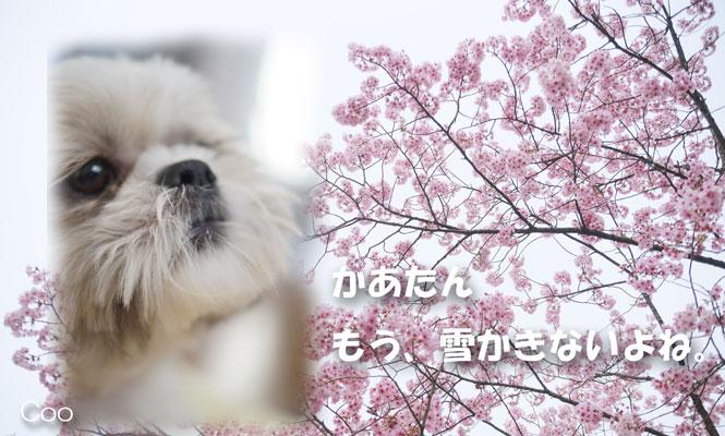 PAK75_yaebenisakura20130323.jpg