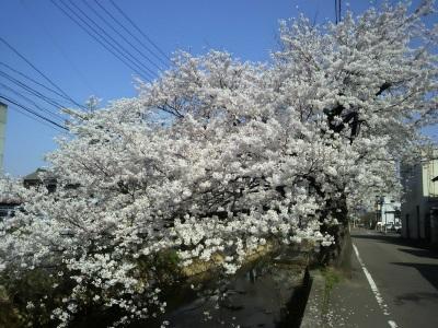 20140422桜