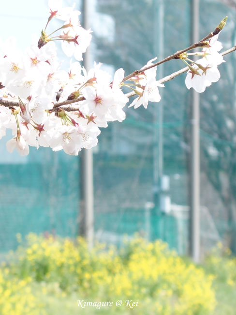 桜&菜の花♪