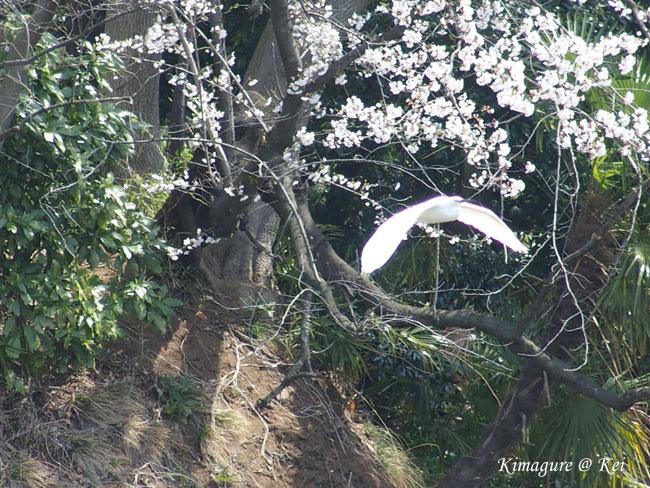 桜&コサギ♪