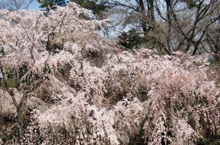御所 桜 6
