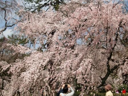 御所 桜 7