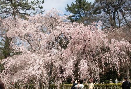 御所 桜 8