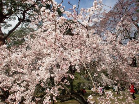 御所 桜 9