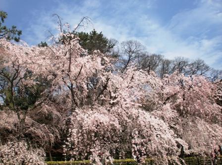 御所 桜 10