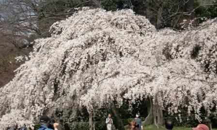 御所 桜 11
