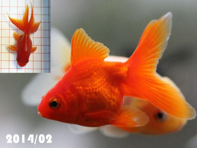 金魚 流金 成長記録 goidfish