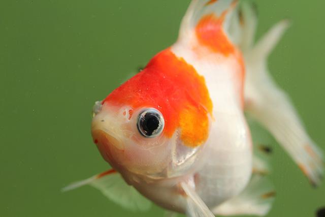 金魚 goldfish 桜流金ST