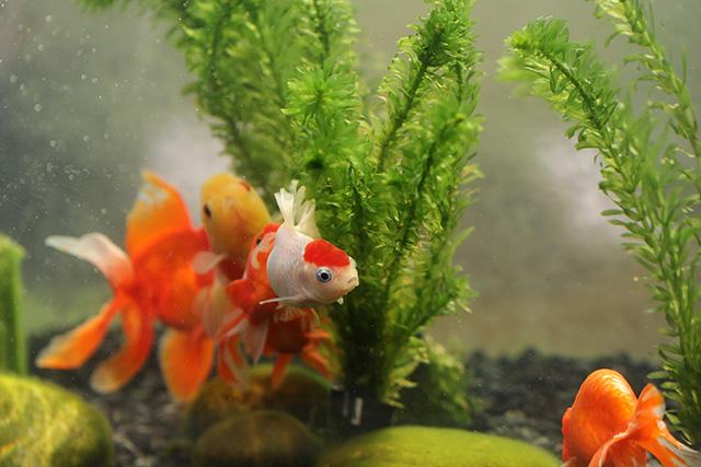 金魚 goldfish 追尾
