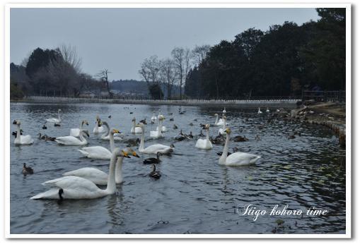 羽田沼の白鳥
