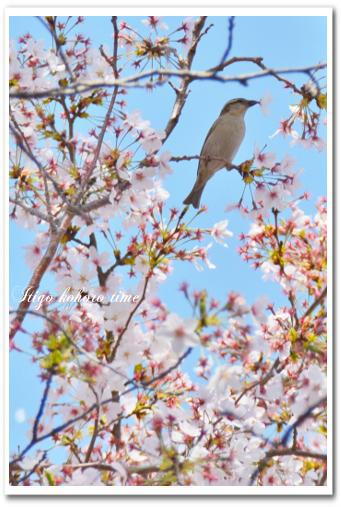 桜をくわえたすずめちゃん