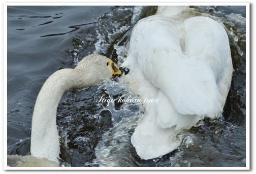 半田沼の白鳥