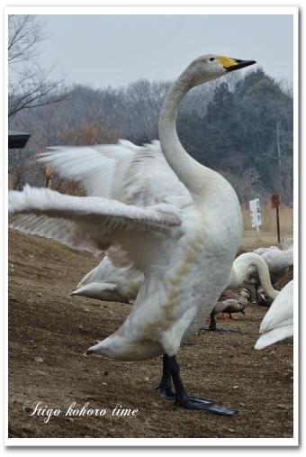 羽田沼 白鳥
