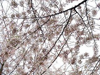 20100427_18_蕨岡_大物忌神社_桜_3