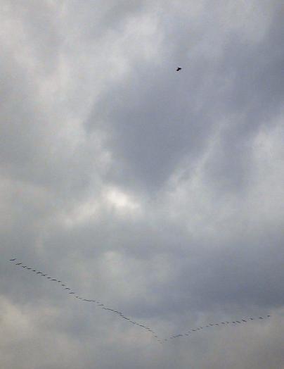 白鳥_20101024