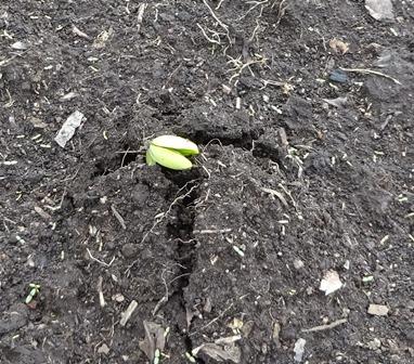 大豆の発芽1