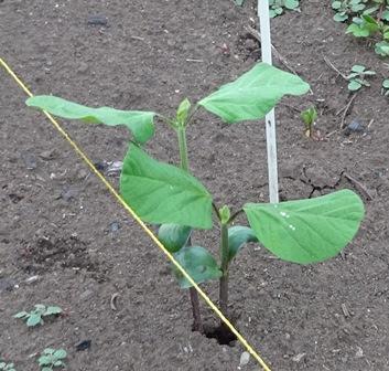 大豆の成長