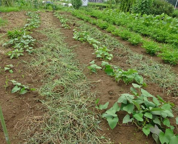 サツマイモ畑の草取り完了