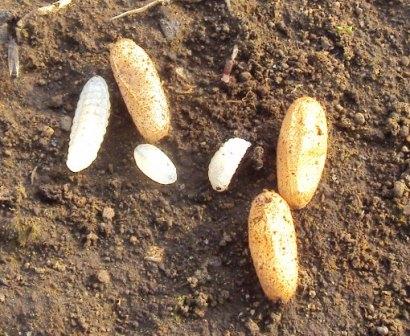 アリのさなぎと卵