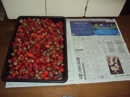 大量のイチゴ