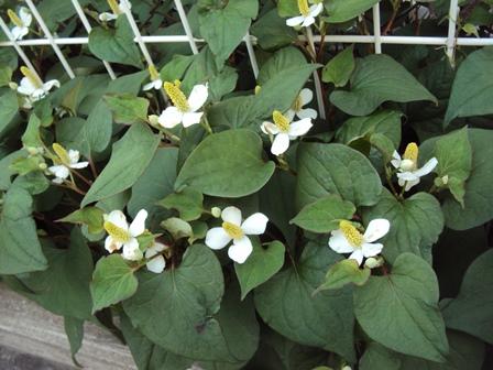 ドクダミの花1