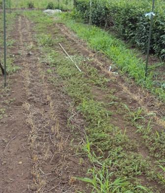 麦を刈った後の畑