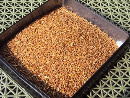 収穫した小麦約1.4kg