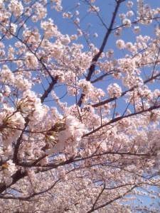 20140331 永田町の桜