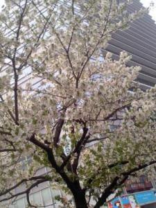 20140331 京橋の桜