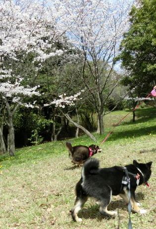 まるるちゃんと桜の園