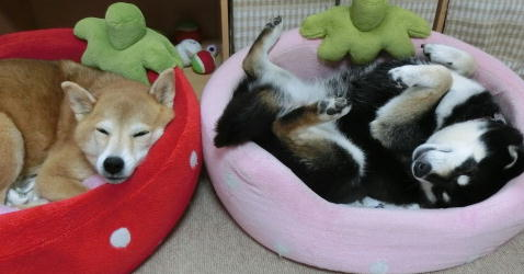 安眠 コロクロ