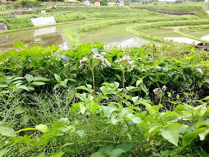 2014.6.7 土曜日の農作業と菅原星空喫茶。。