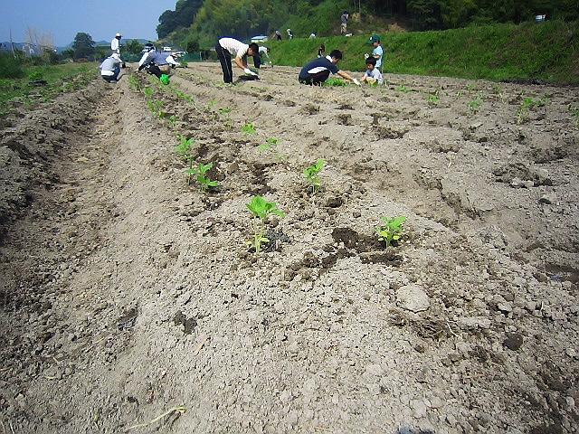 2014.6.15 ゴマの植え付けと田植え、たまねぎ&じゃがいも収穫をしました(^^♪