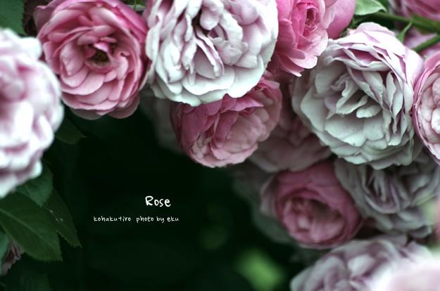 rose_201406011413115e6.jpg