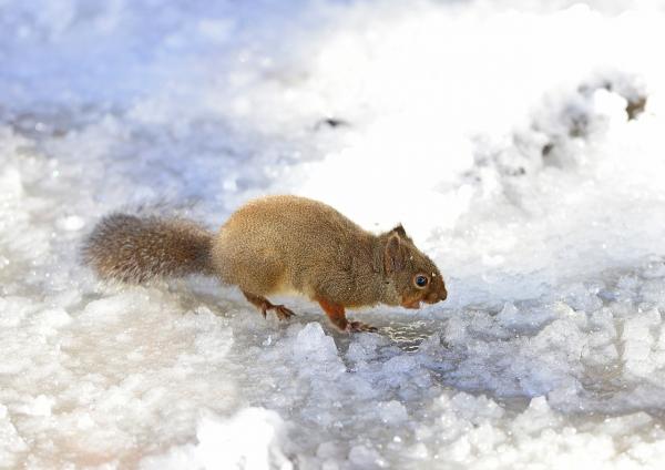 ニホンリス-水場も凍る