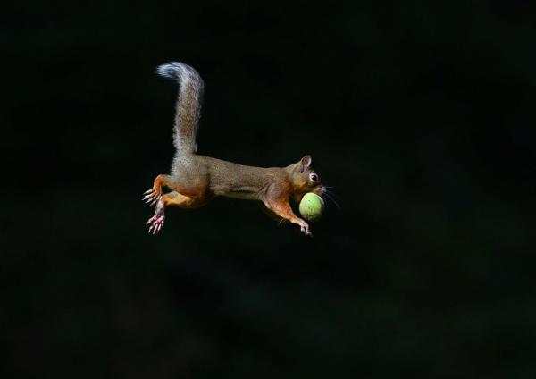 ニホンリス-ジャンプ肉球