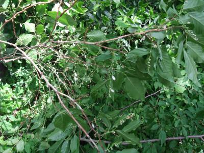 伐られた枝