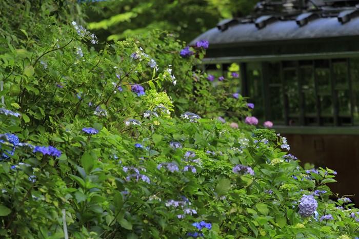 14-06-29 淡いあじさいの点描 宮ノ下~小涌谷