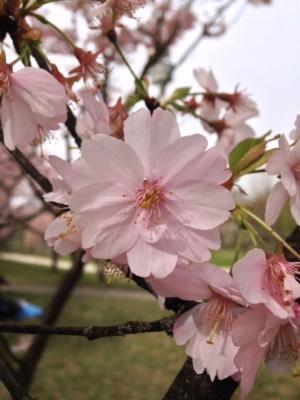 Sakura05.jpg