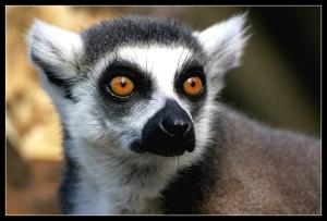 lemur_katta.jpeg