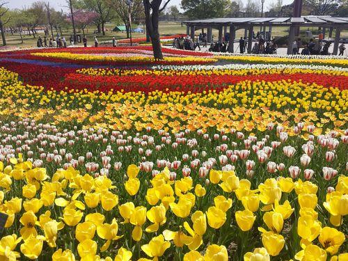 木曽三川公園チューリップ