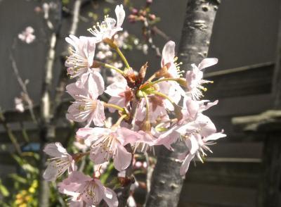 啓翁桜 2