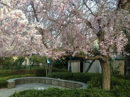 しだれ桜0
