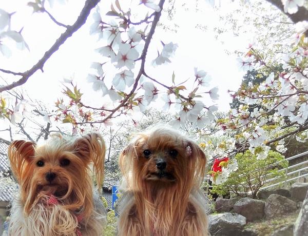 08桜とリーパコ