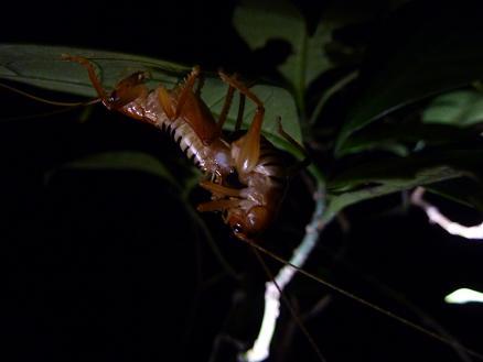 コバネコロギスの交尾