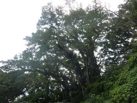 ガジュマルの巨木