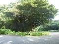 ガジュマルの巨木-2