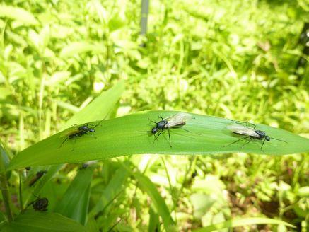 クロオオアリ雄蟻