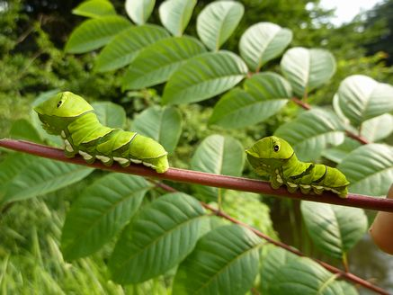 アゲハ終齢幼虫