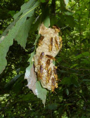 ホソアシナガバチの巣